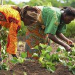 UN WomenとStandard Bankが南アとマラウィで女性のエンパワーメントを目指す農業開発プロジェクトを実施【Pick-Up! アフリカ Vol. 38 (投稿:2020年11月17日)】