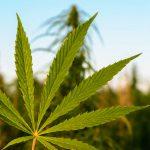 アパルトヘイトの影響が残る大麻産業【Pick-Up! アフリカ Vol. 158:2021年4月27日配信】